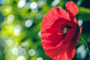 poppy backgrounds download