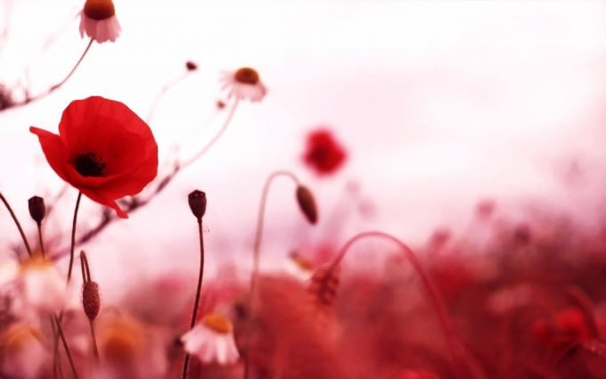 poppy backgrounds free