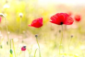 poppy image hd