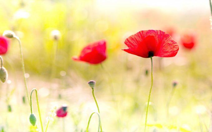 poppy image hd