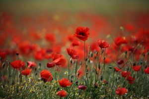 poppy pictures hd