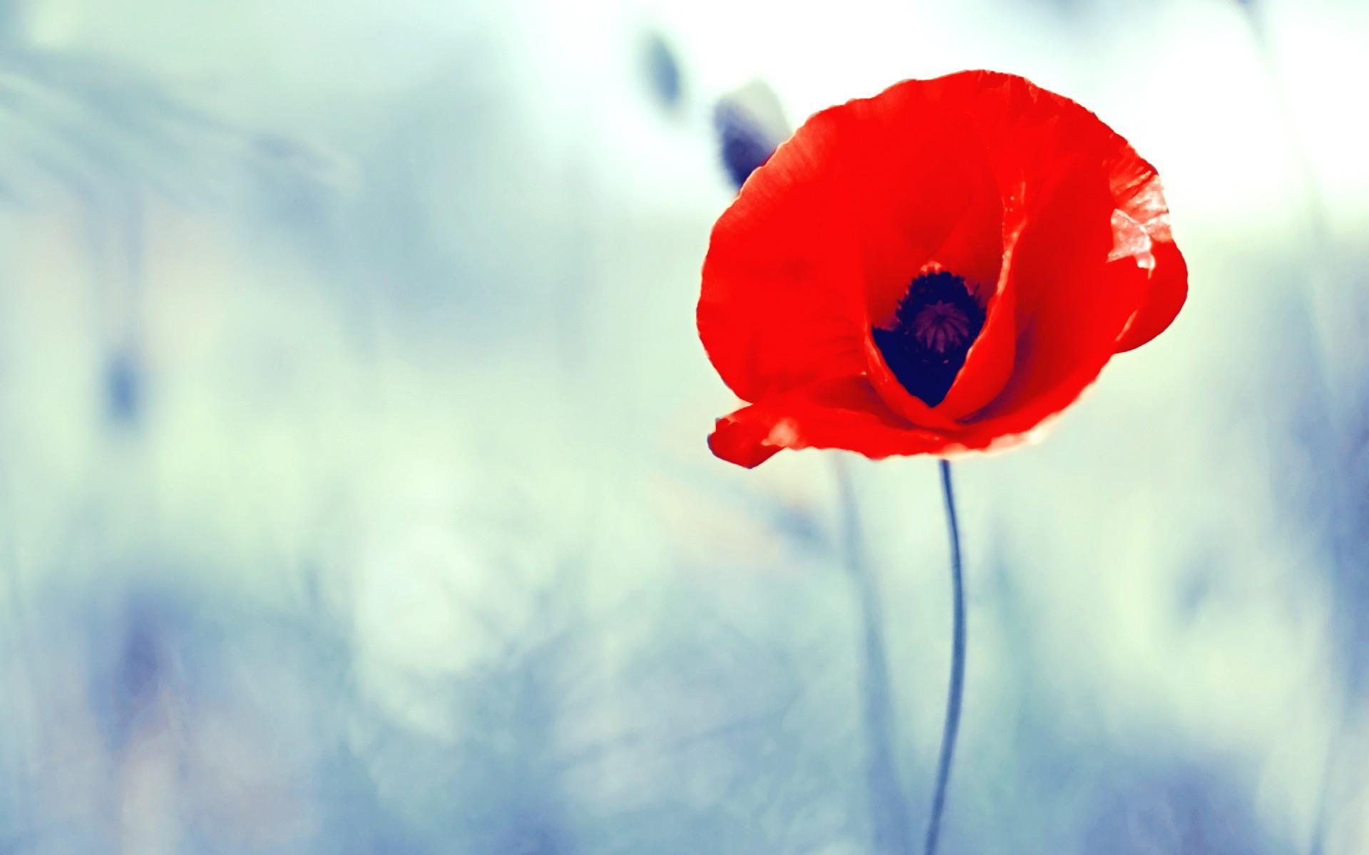 poppy red wallpaper