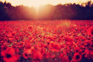 poppy wallpaper field