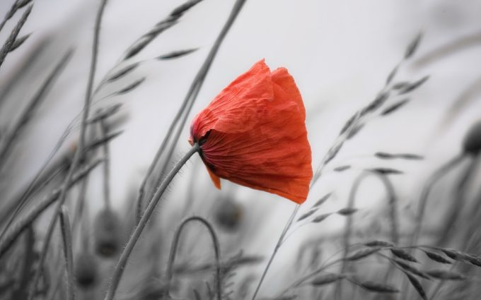 poppy wallpaper flower