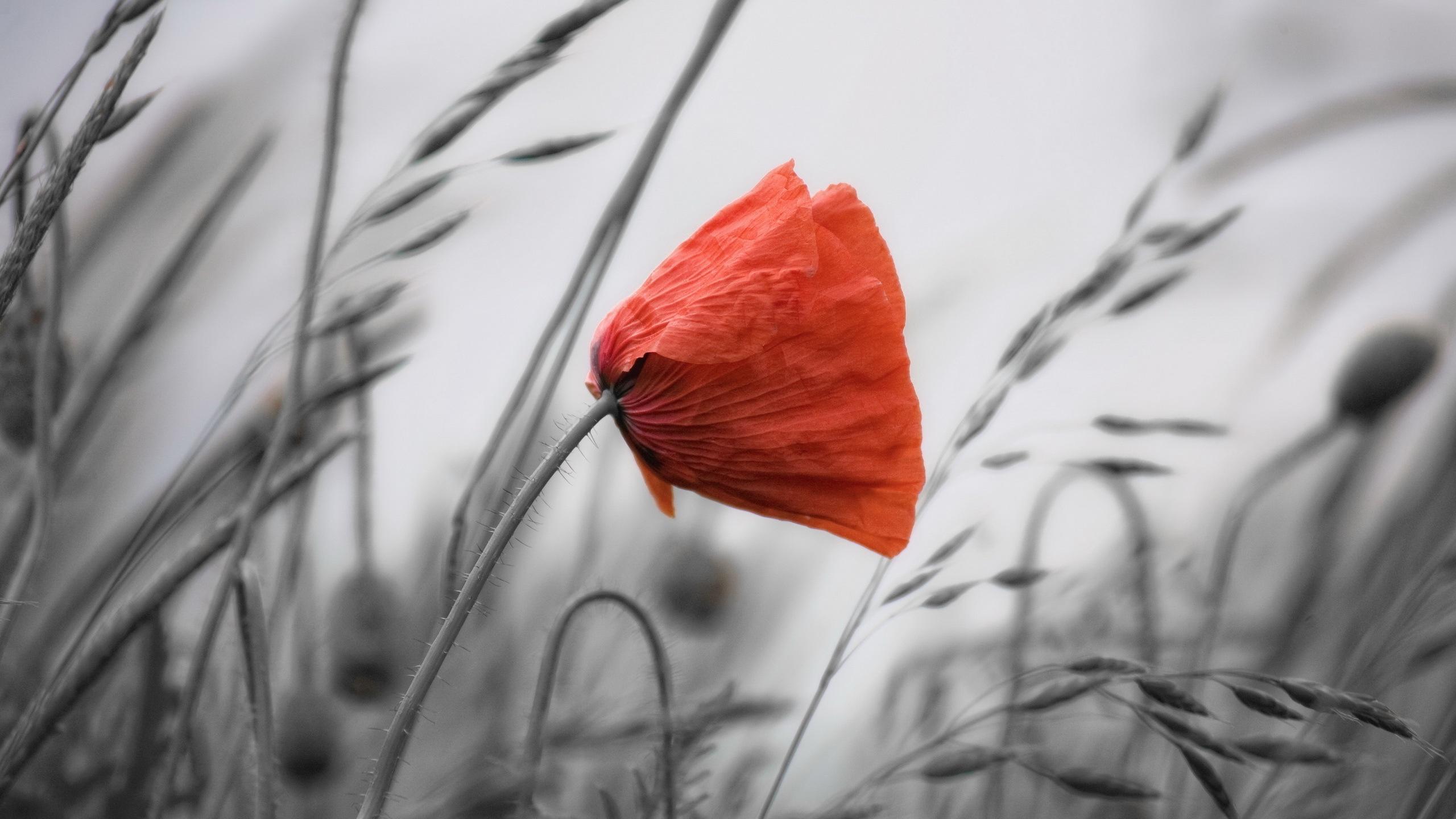poppy wallpaper flower