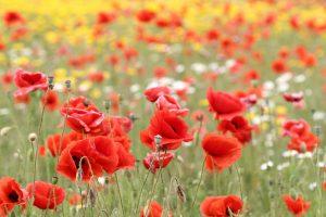poppy wallpaper meadow