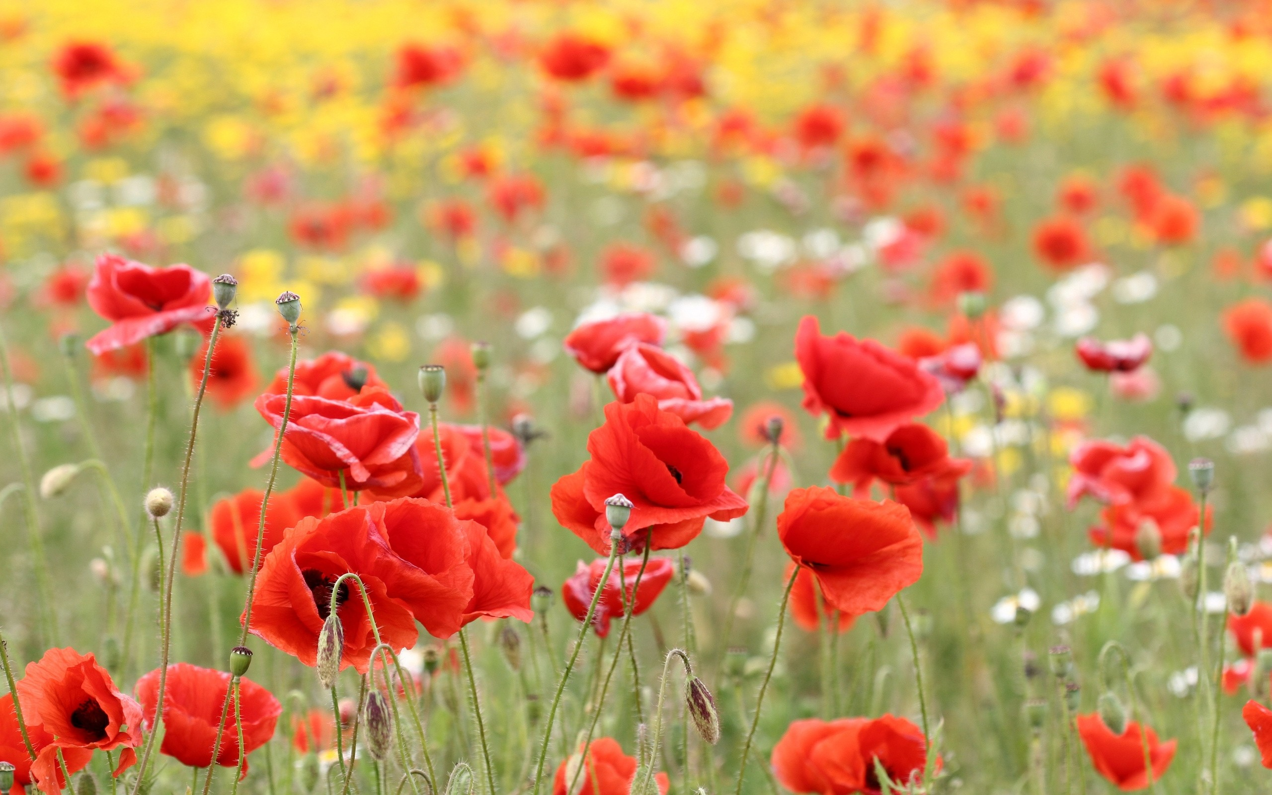 poppy wallpaper meadow