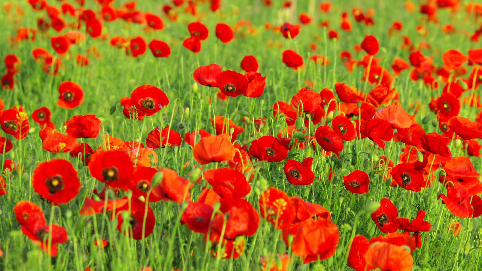 poppy wallpaper nice