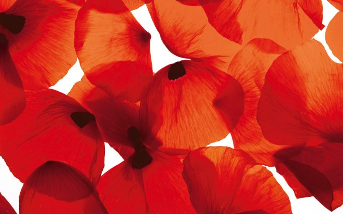 poppy wallpaper red