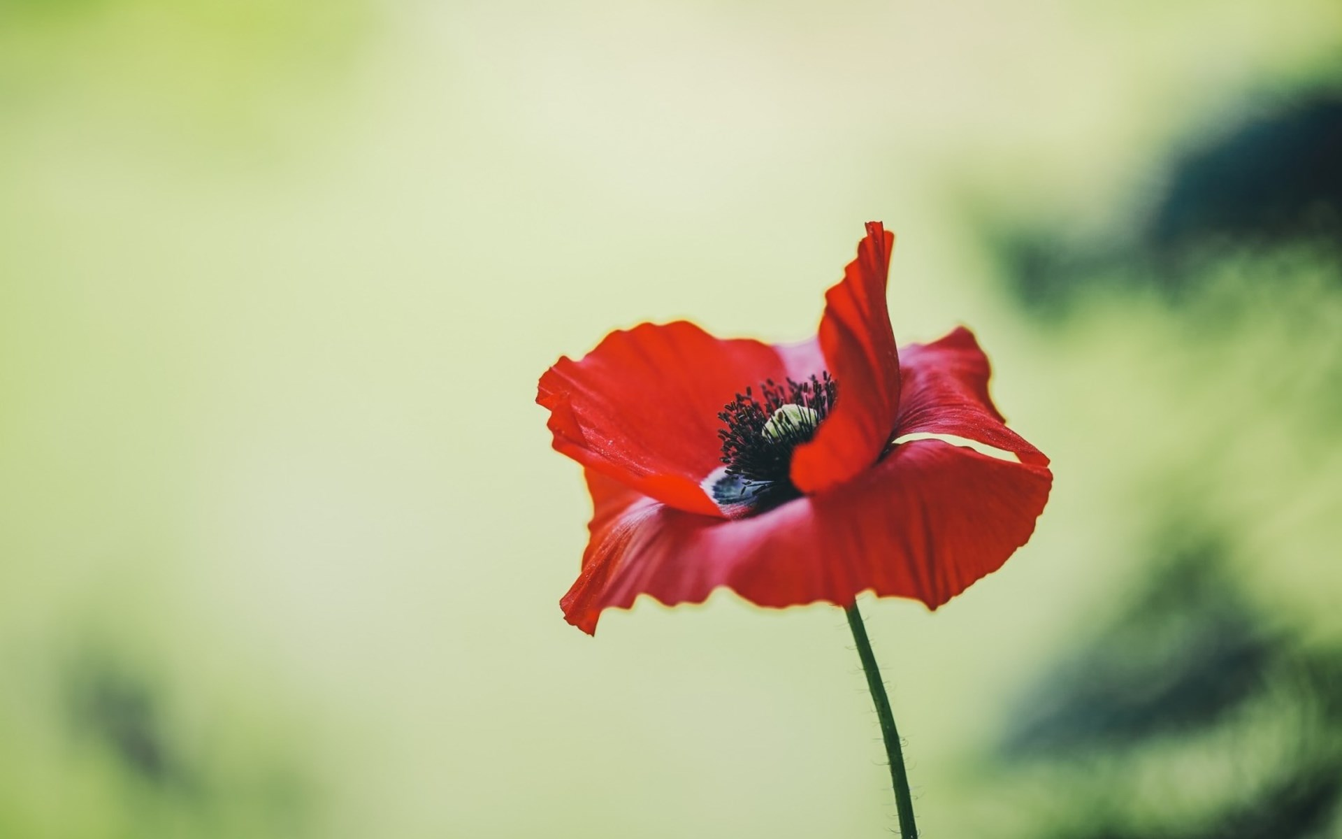 poppy wallpaper summer