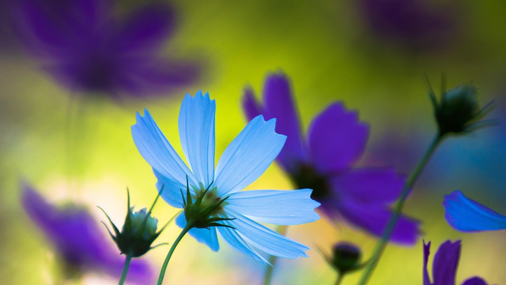 pretty cosmos flowers