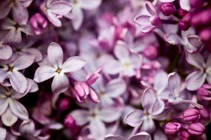 pretty lilac flowers