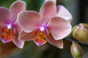 pretty phalaenopsis wallpaper