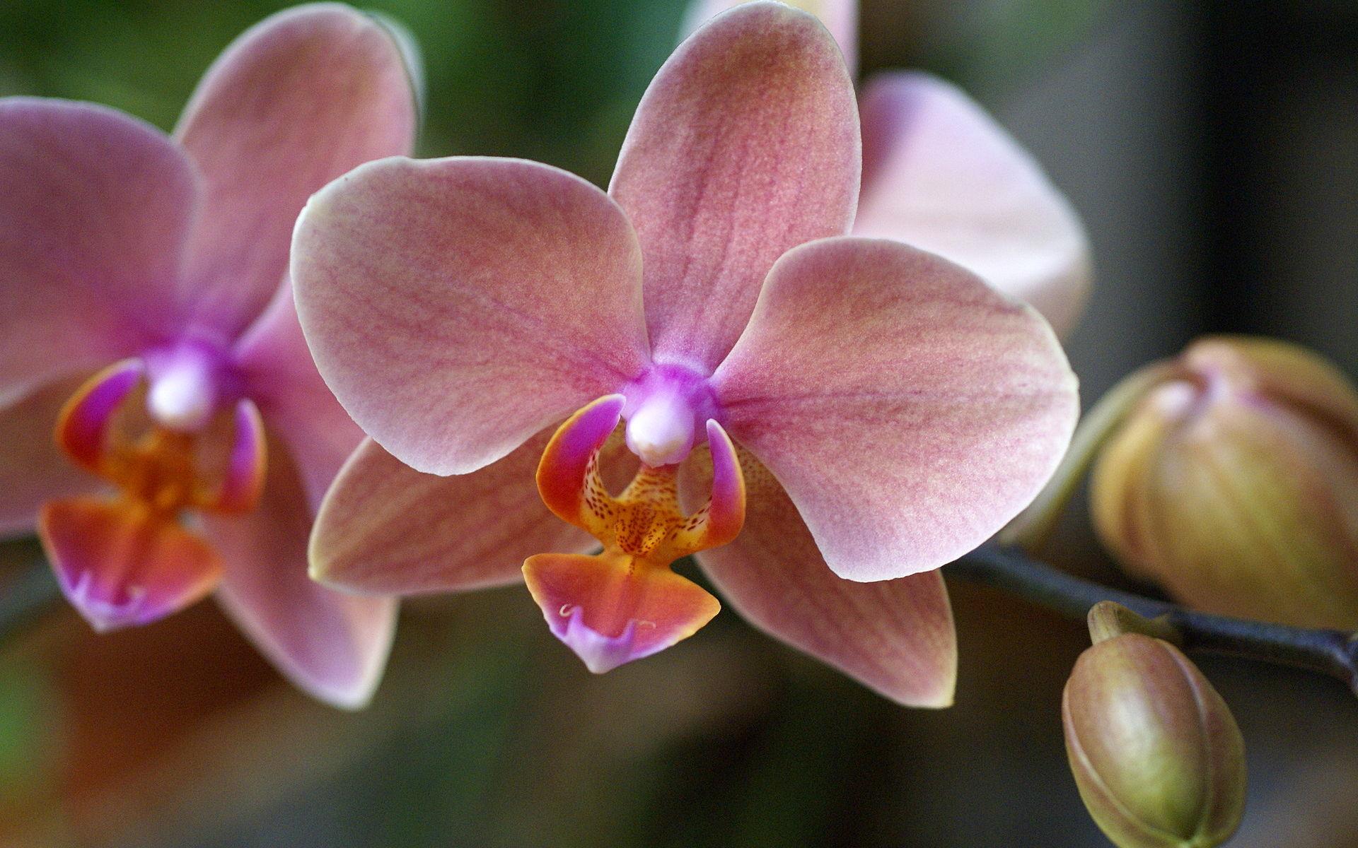 pretty phalaenopsis wallpaper