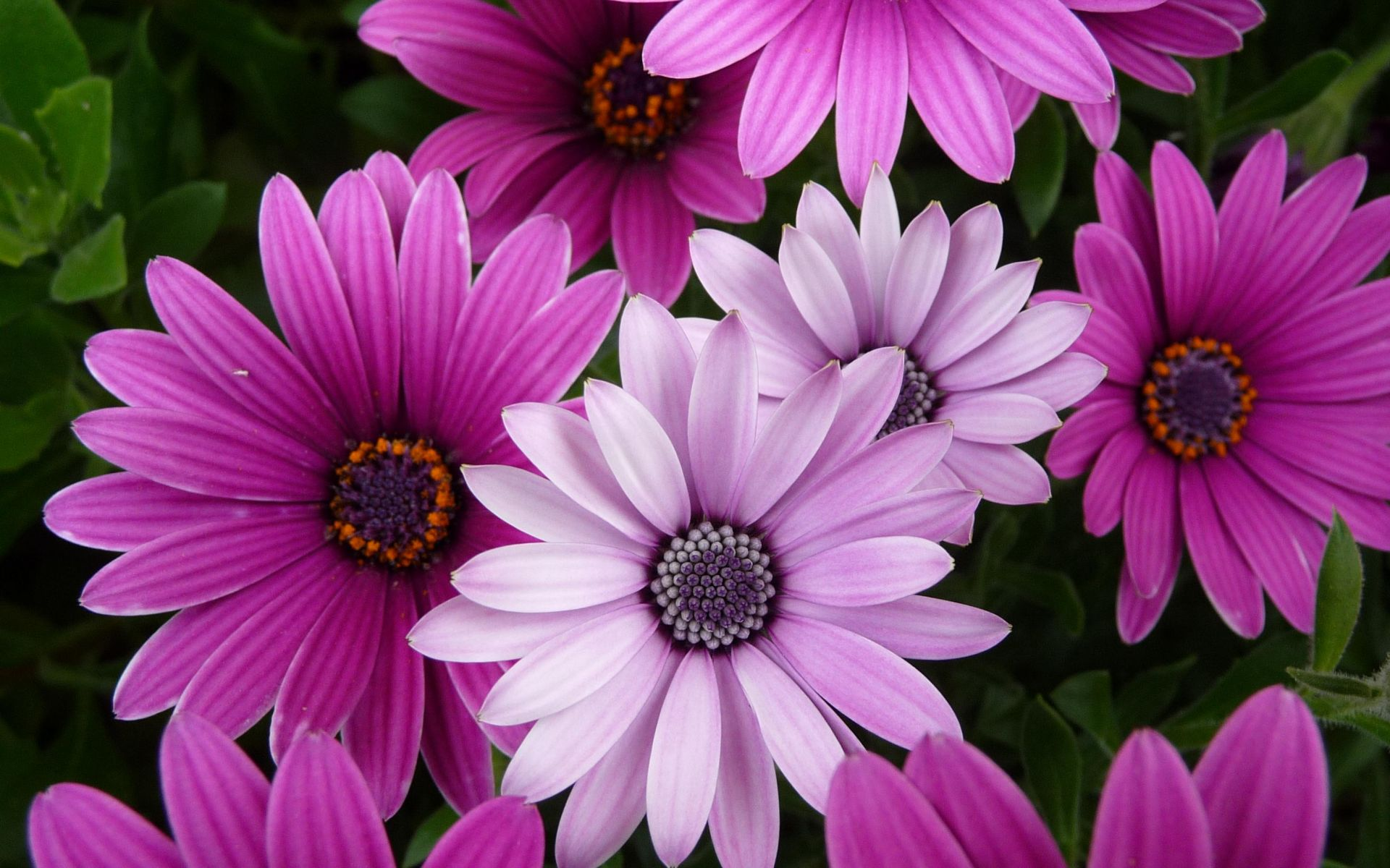 Purple And Pink Flower Wallpaper