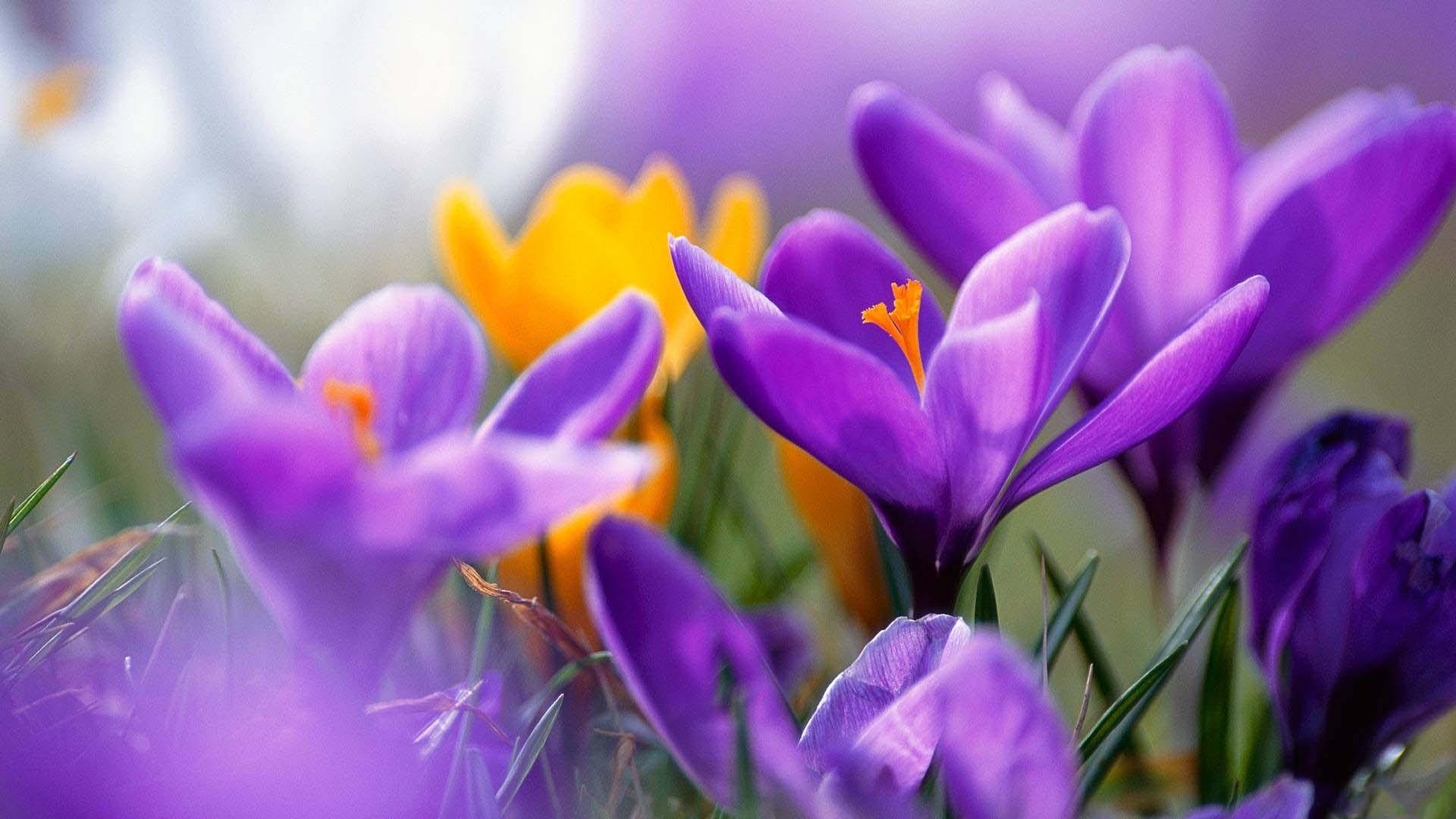 purple crocus flower