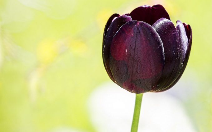 purple flower tulip