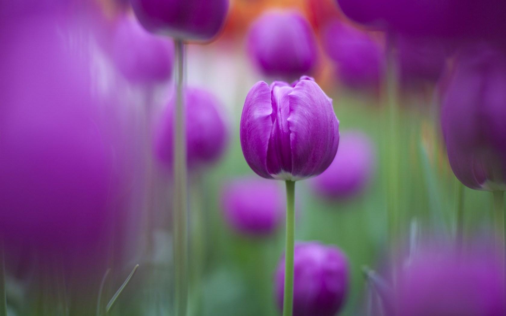 purple flowers A15