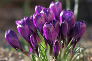 purple flowers A16