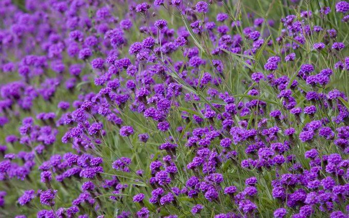 purple flowers A20