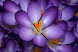 purple flowers  images