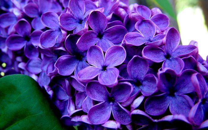 purple flowers nature