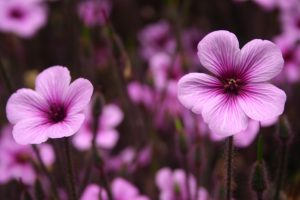 purple flowers wallpapers