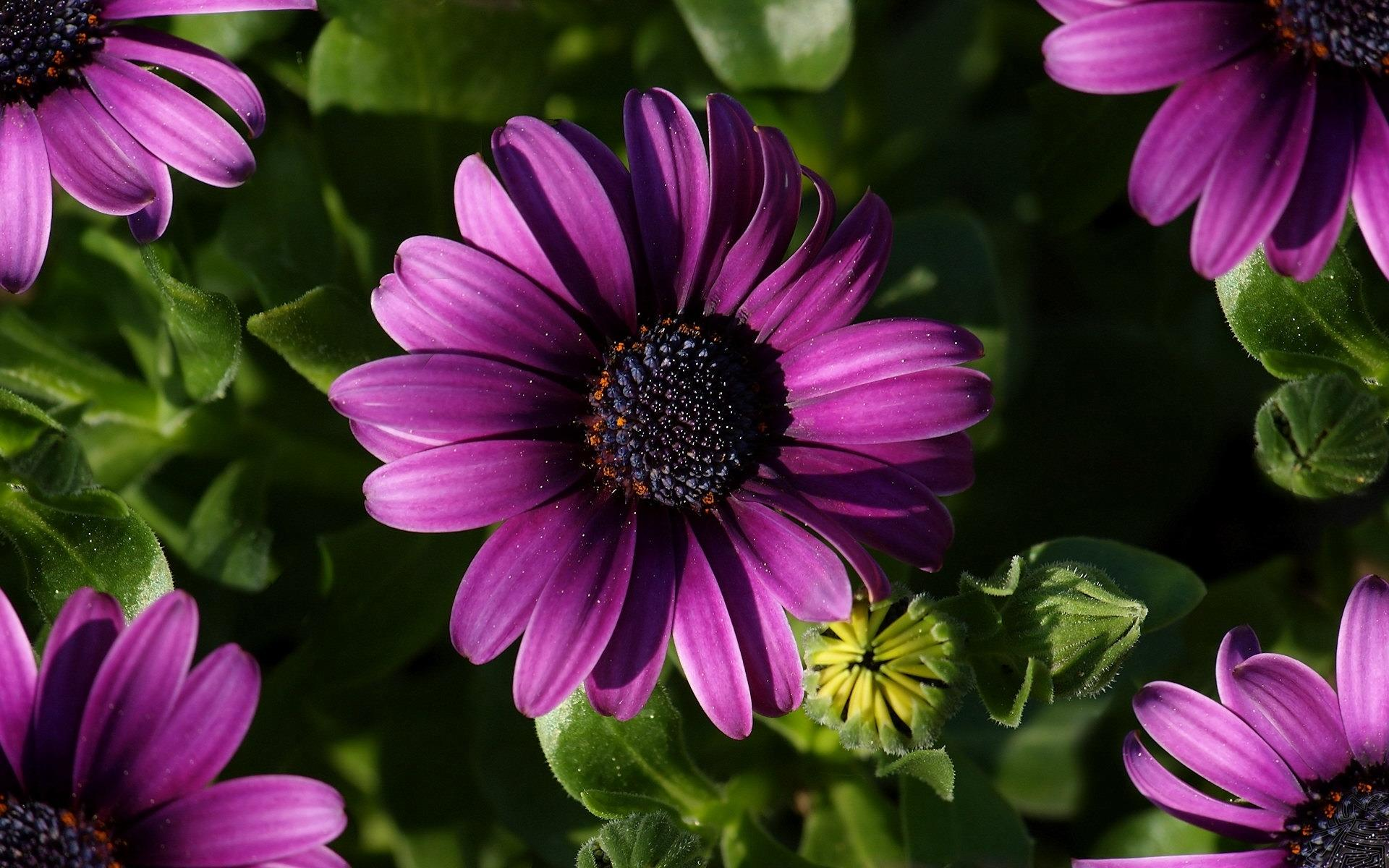 purple gerberas