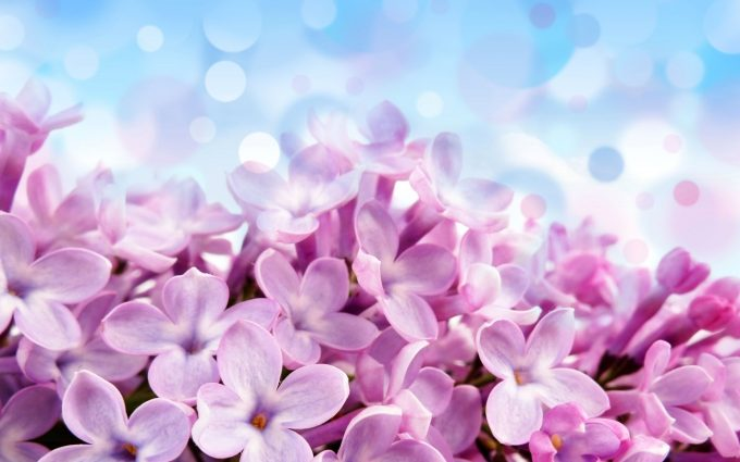 purple hyacinth  hd