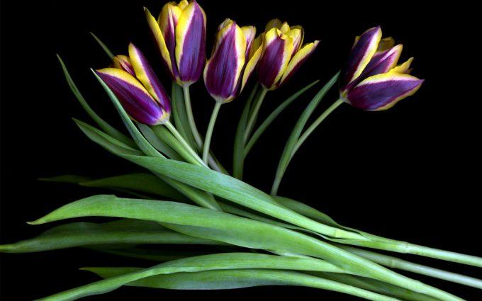 purple tulips hd