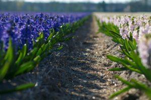 purple wallpaper field