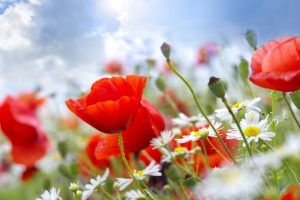red and white flower wallpaper