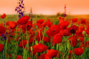 red flowers wallpaper A