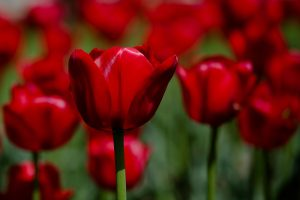 red flowers wallpaper A12