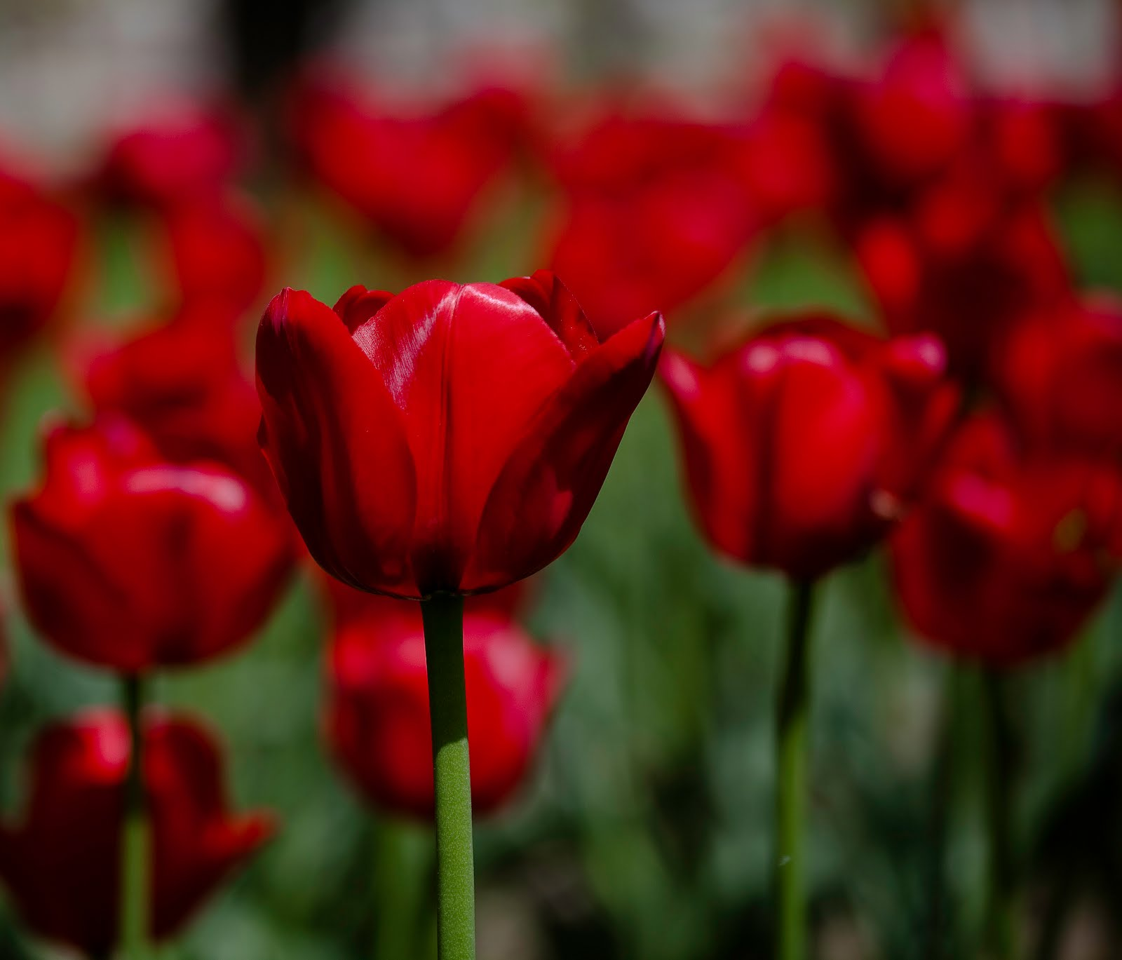 Red flowers wallpaper a12 hd desktop wallpapers 4k hd - Red flower desktop wallpaper ...