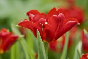 red flowers wallpaper A13