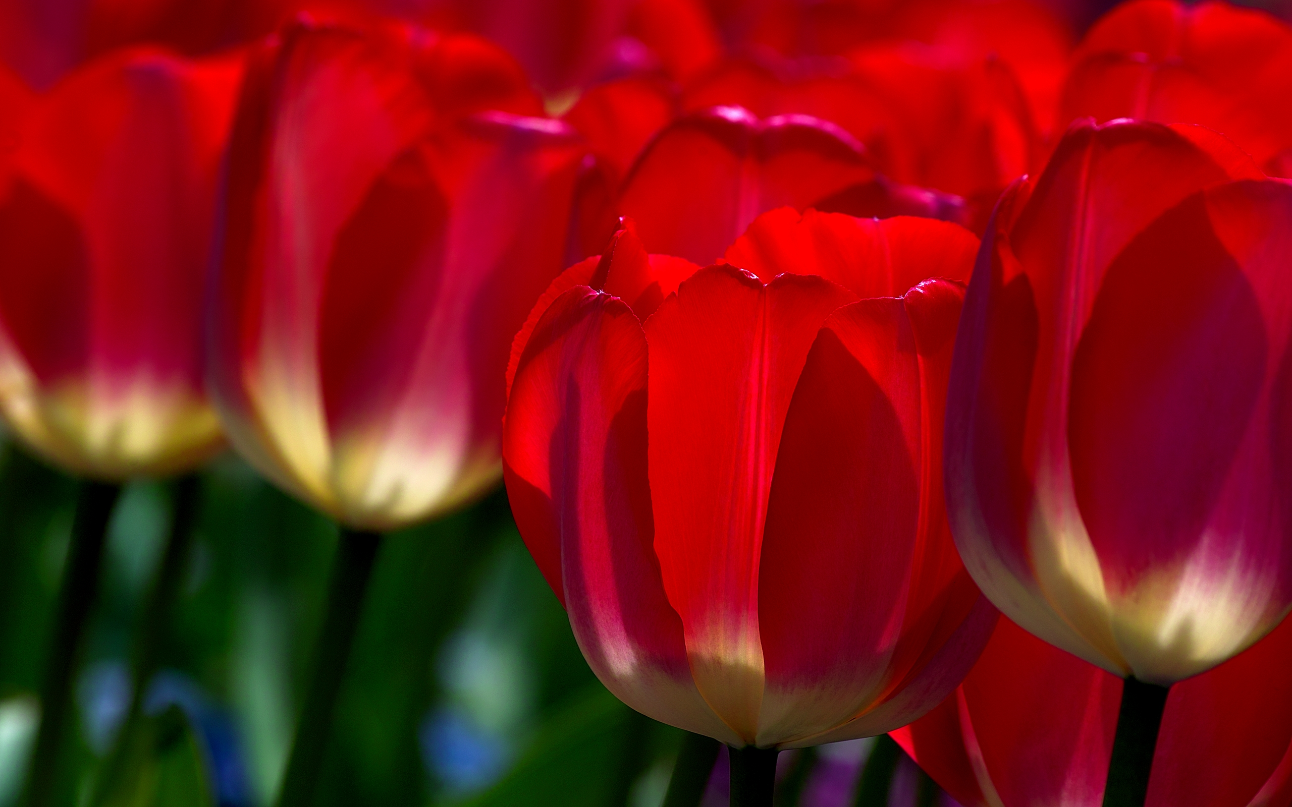 red flowers wallpaper A5 tulip