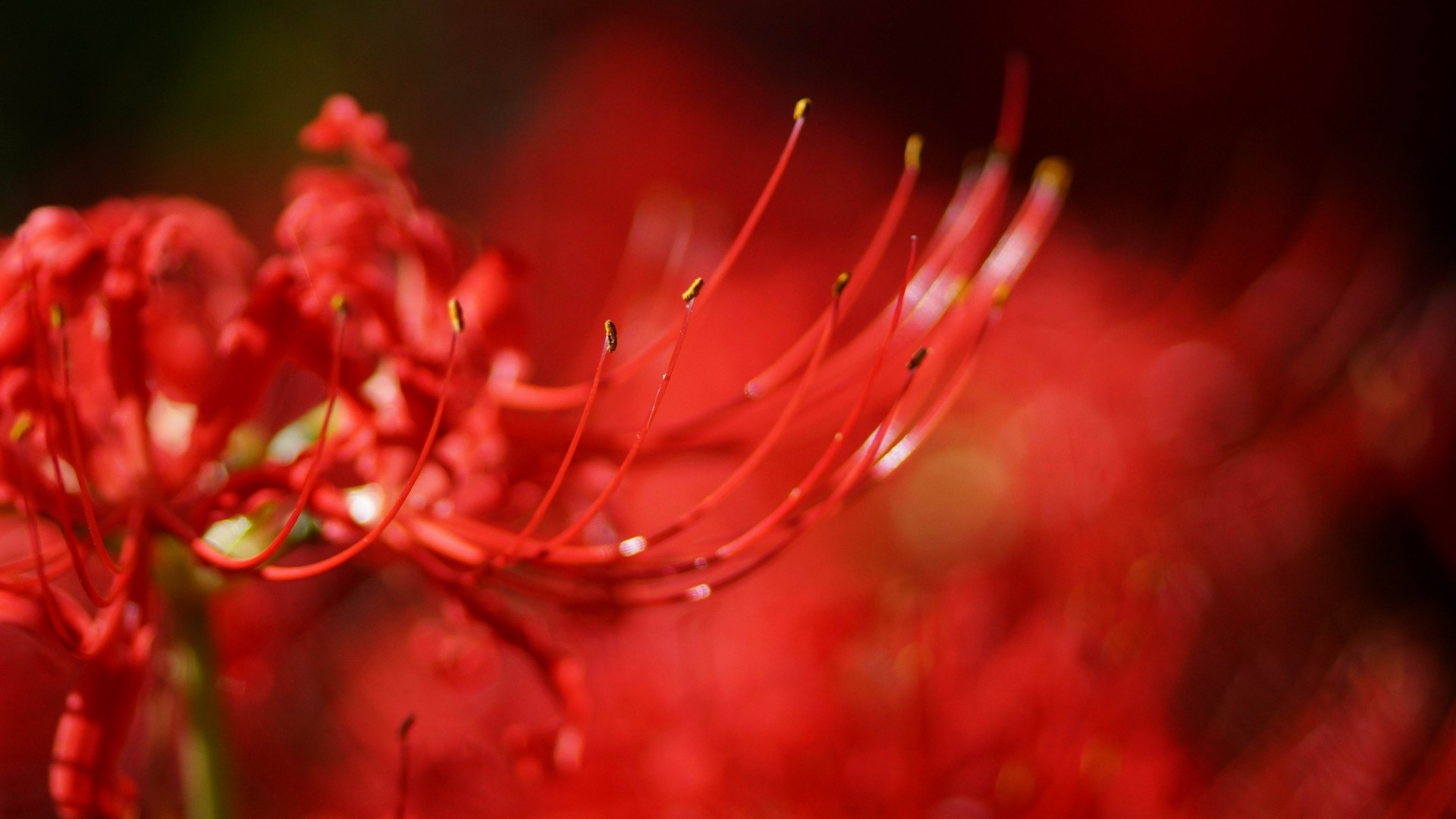 red macro wallpaper A2