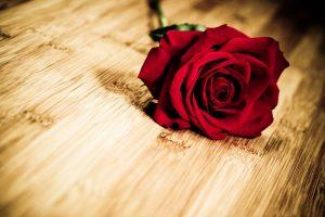 red rose flower wallpaper