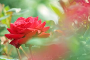red rose flower wallpapers