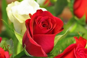 red rose photos free download