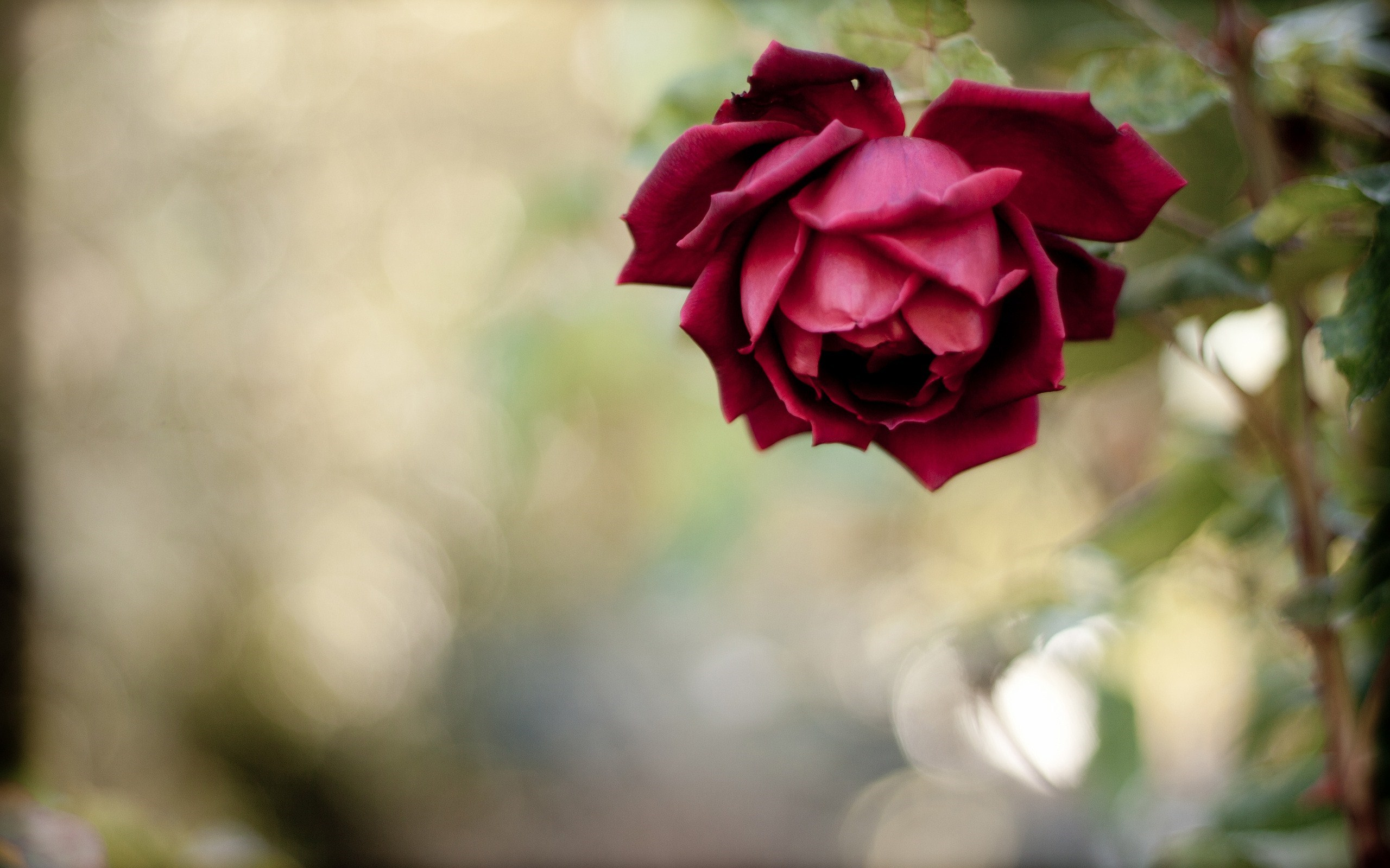 red rose wallpaper free download