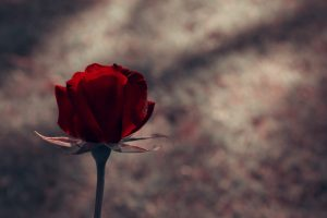 red rose wallpapers download