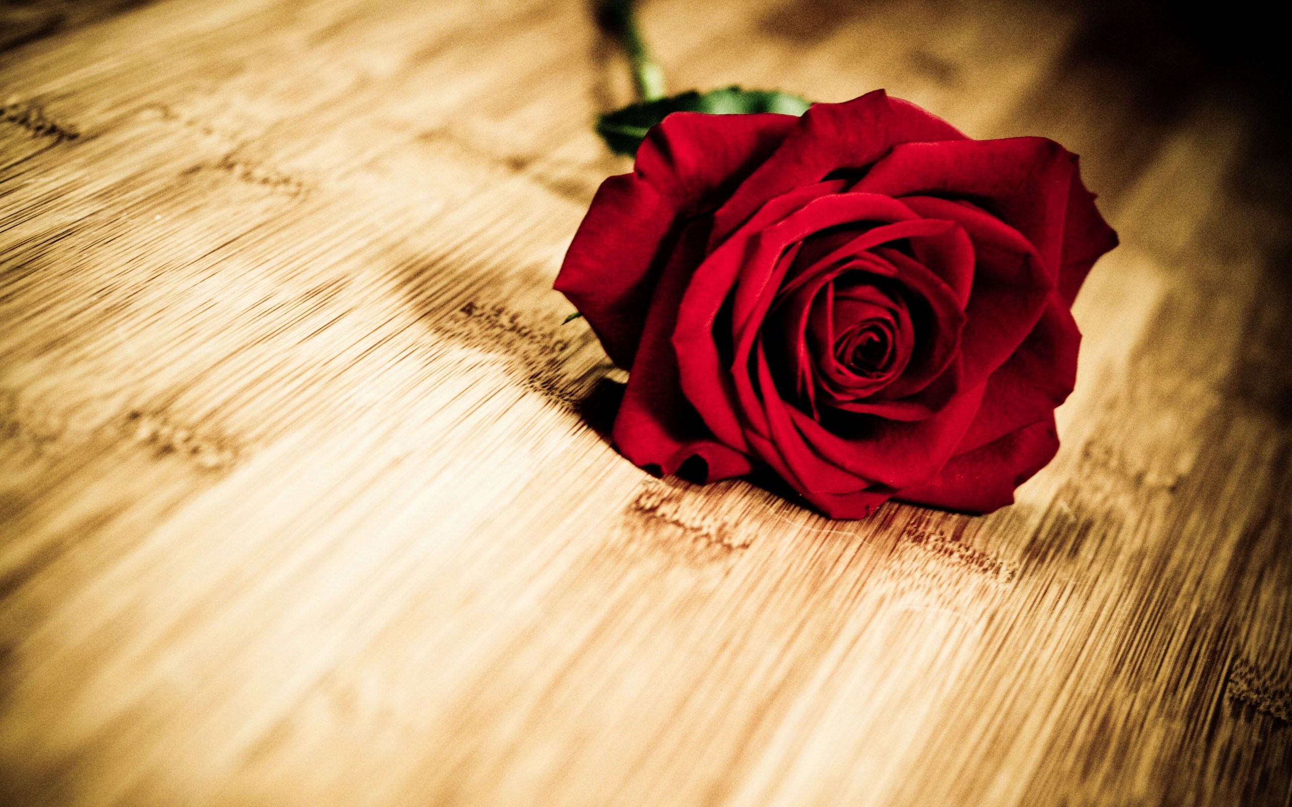 red roses wallpaper download
