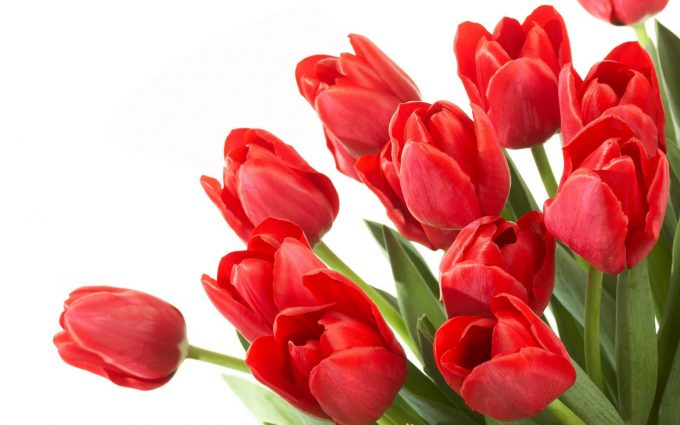 red tulip pictures