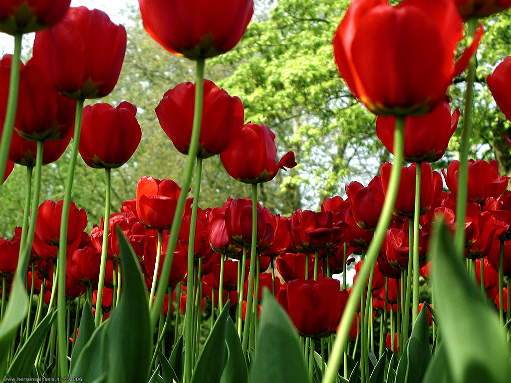 red tulips wallpaper