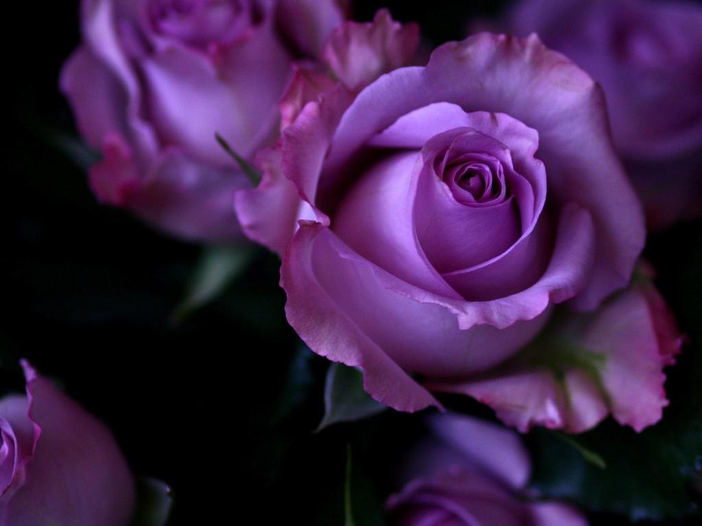 rose flower live wallpaper