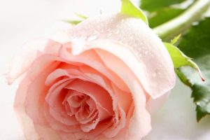 rose flower pictures wallpapers