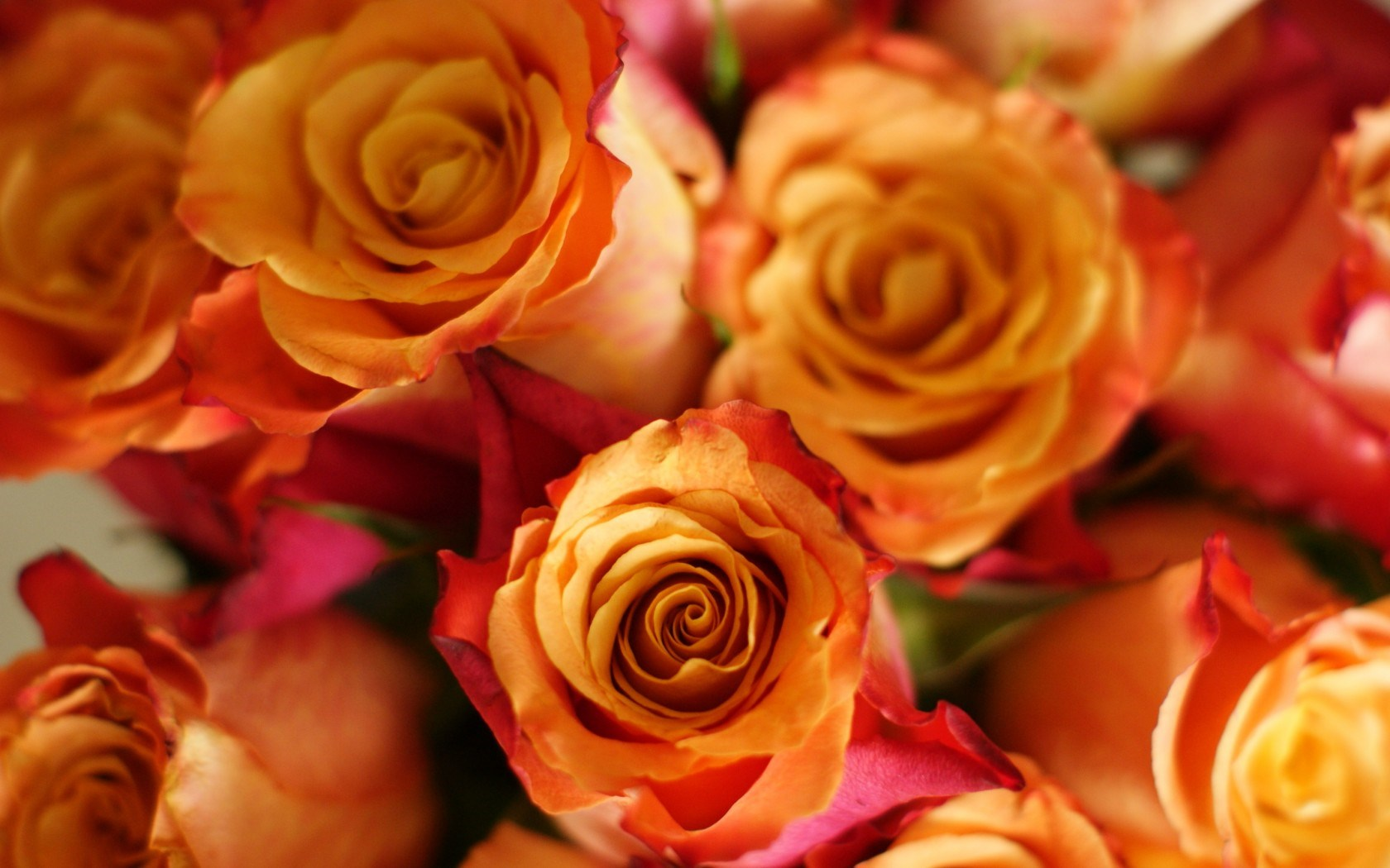 rose flowers pictures wallpaper