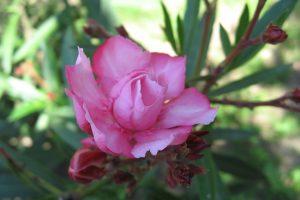 rose images download